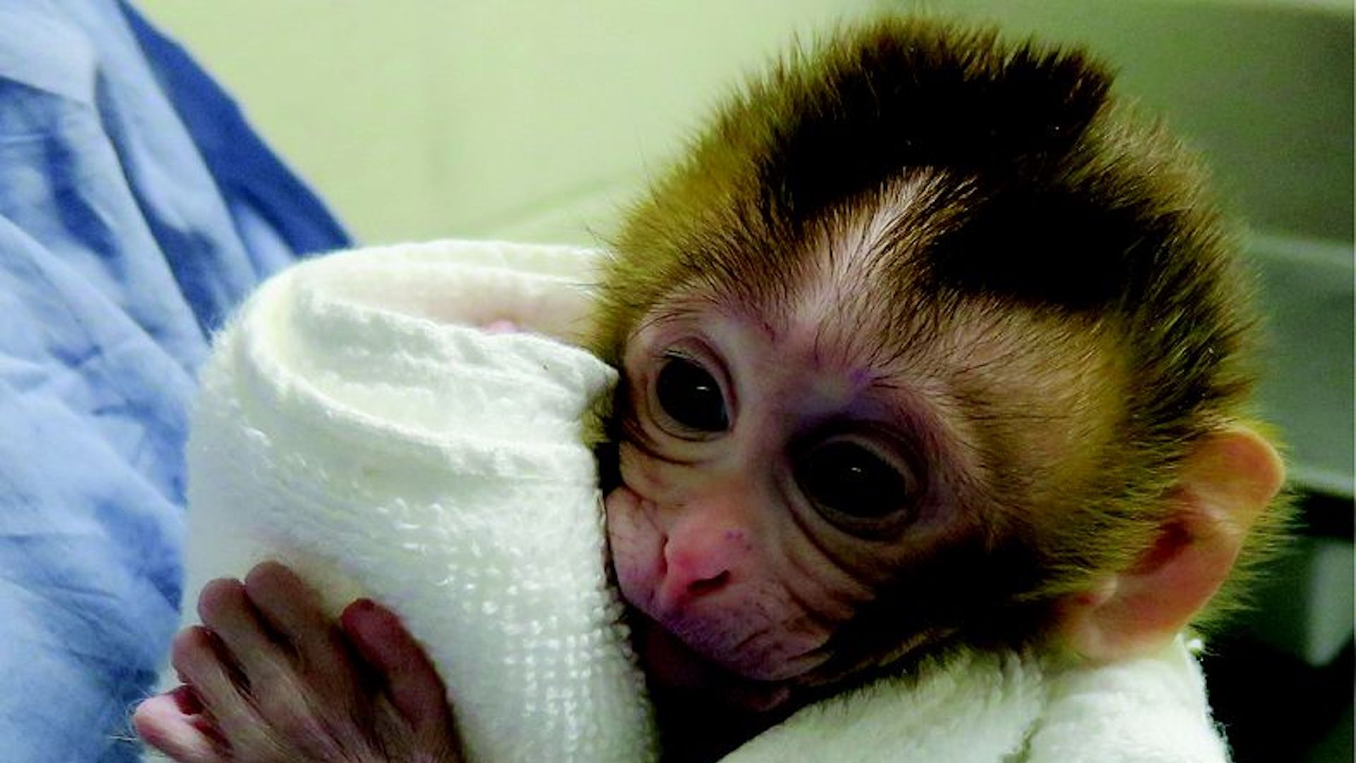 12-week-old Grady, born from cryopreserved testicular tissue.