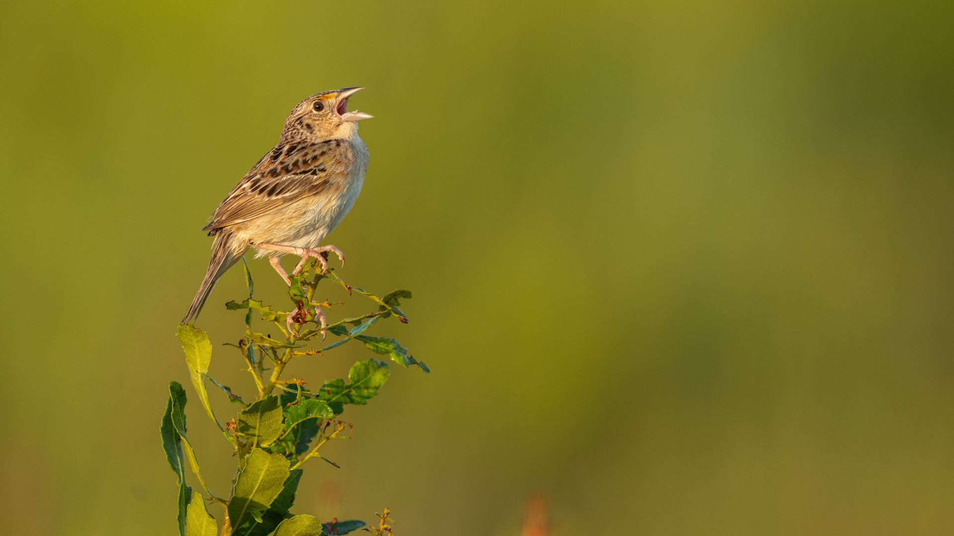 A Florida grasshopper sparrow, the most endangered bird in North America, sings from an early morning perch.