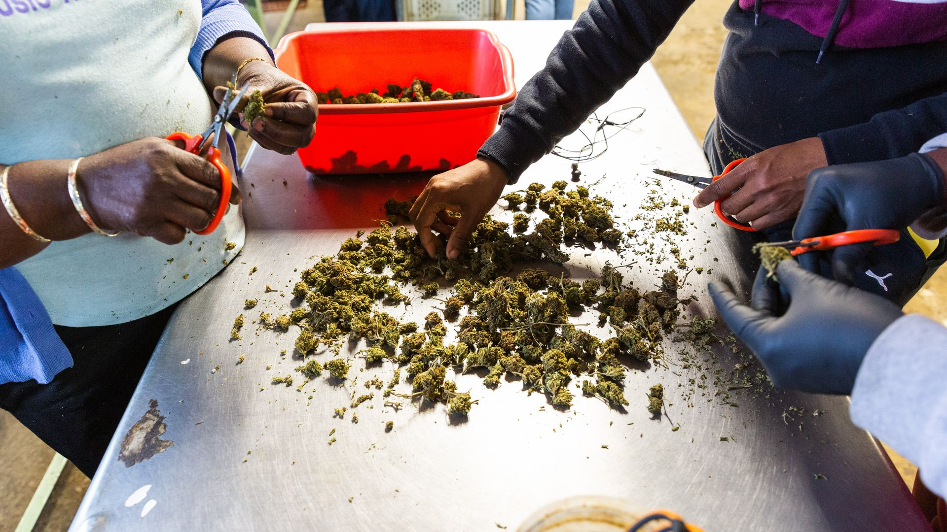 Marijuana on a metal table