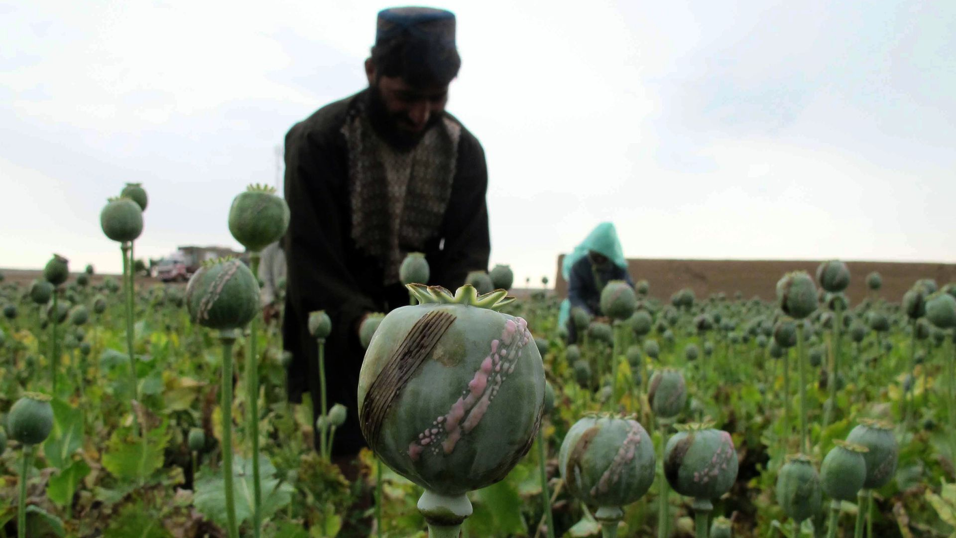 Afghan farmers harvest opium sap from a poppy field at Gereshk in Helmand Province.