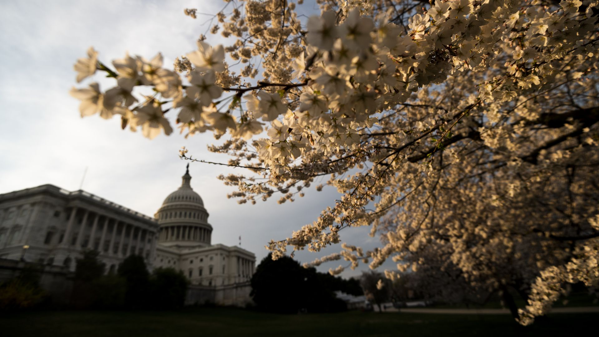 Cherry blossoms at the U.S. Capitol in Washington are lit by the rising sun on Friday, March 20, 2020.