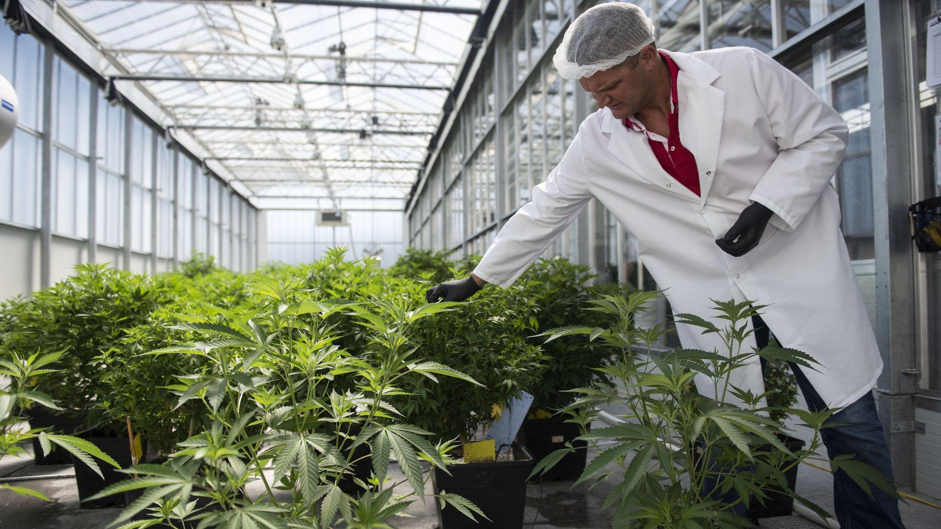 A marijuana growth facility in Maryland.