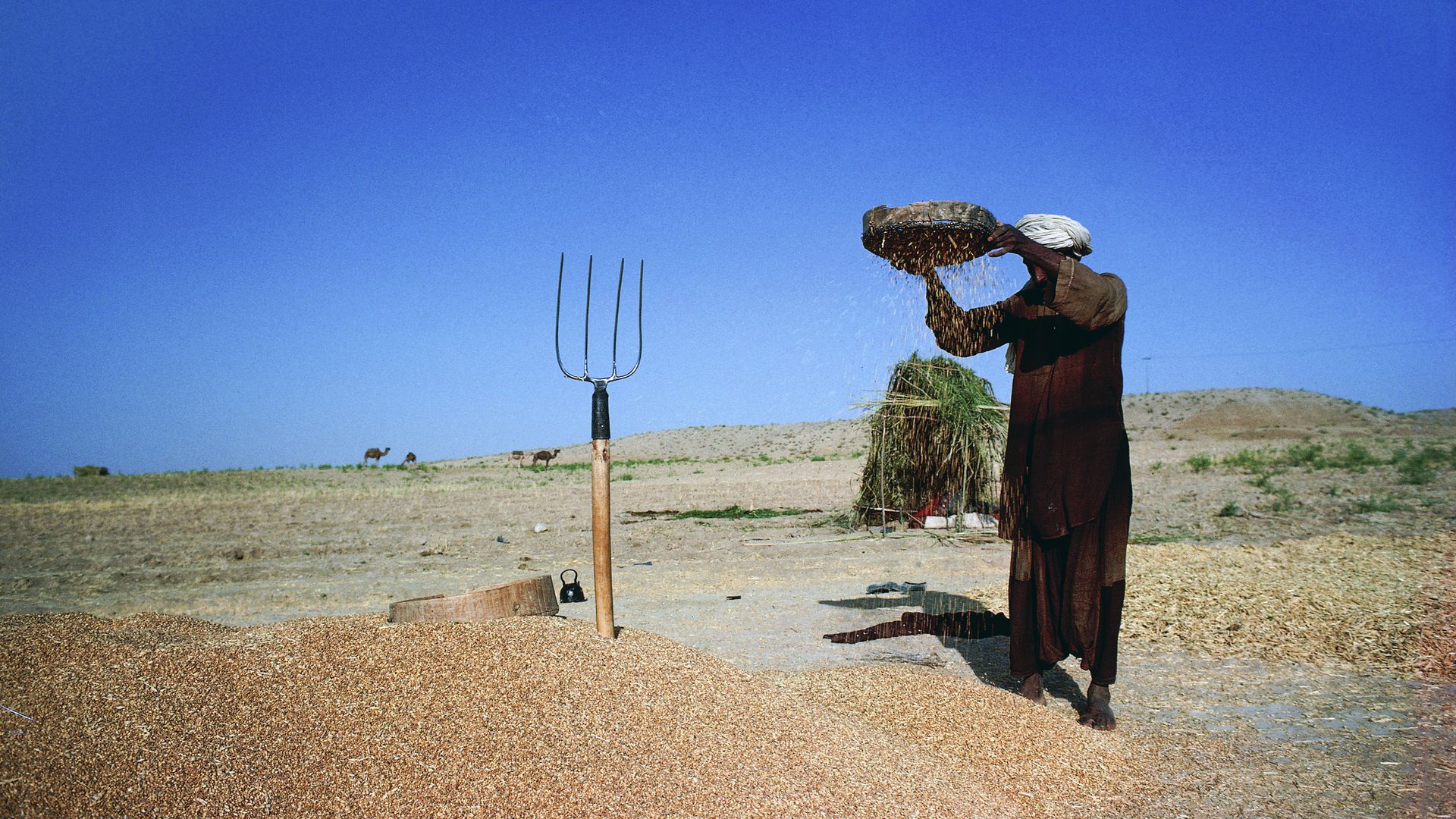 A man threshing wheat in a village in the Khorasan region,