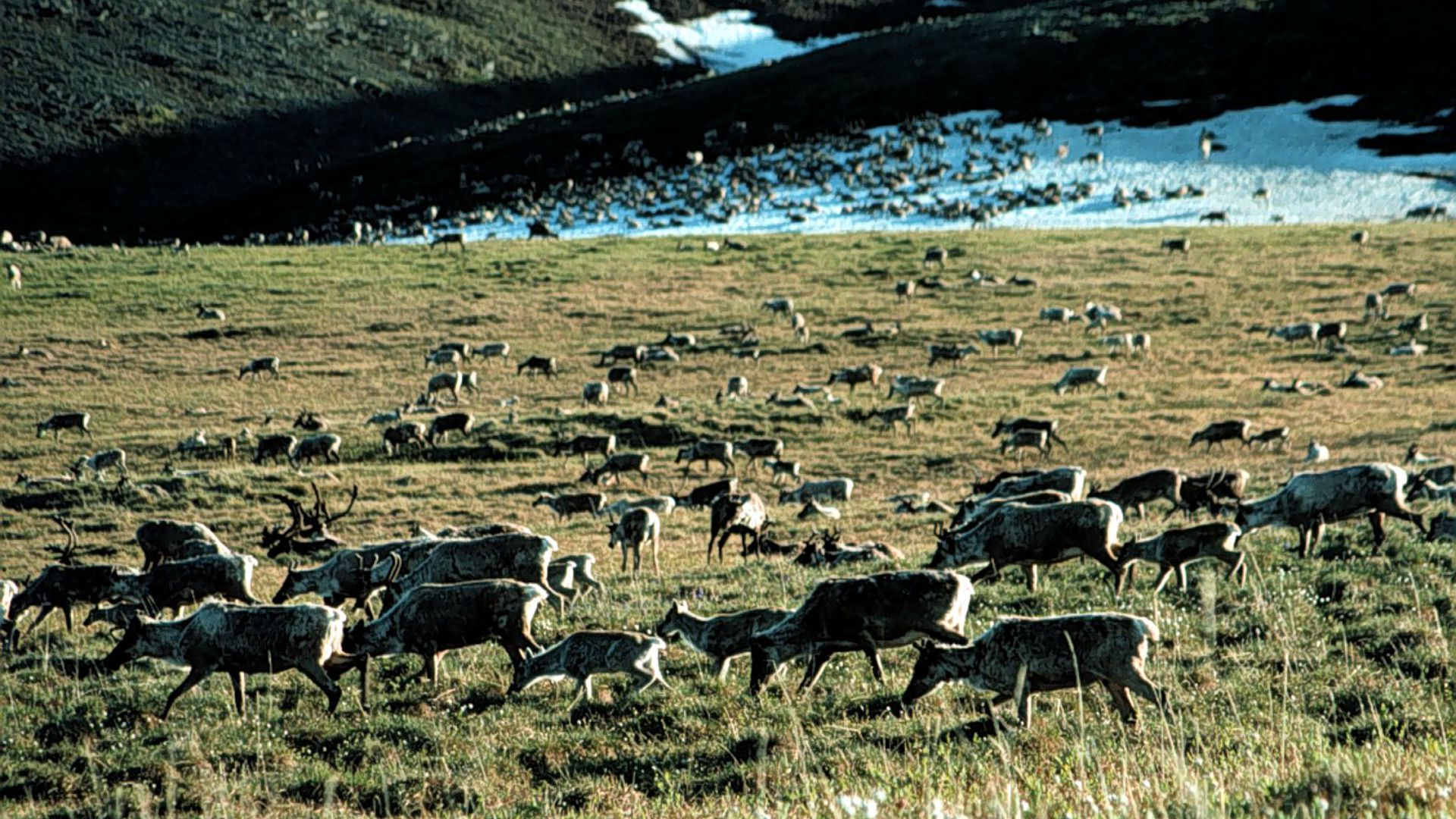 Caribou graze in the Arctic National Wildlife Refuge