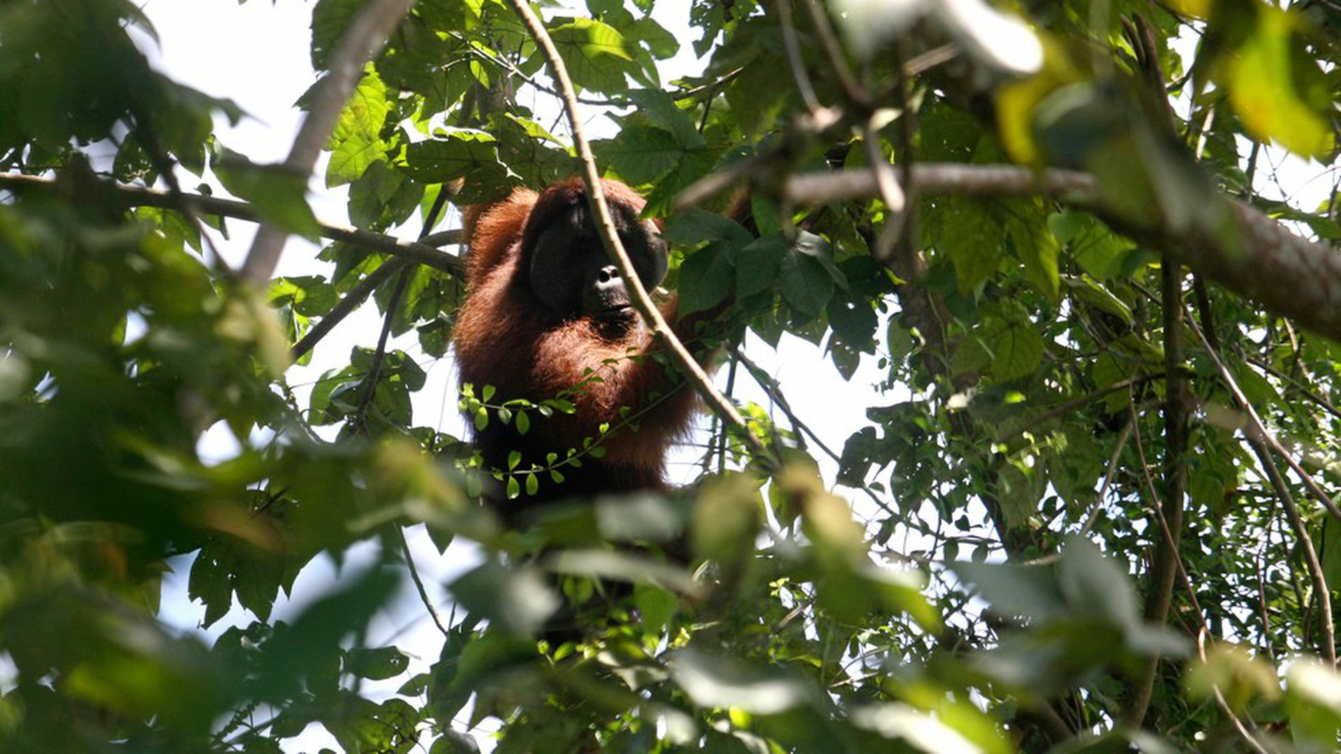 New great ape species is a rare find
