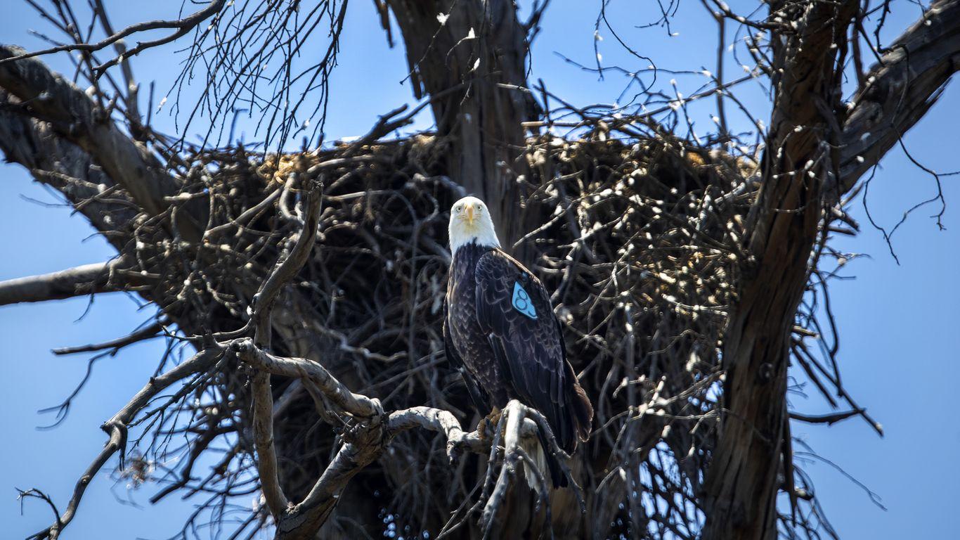 U.S. bald eagle population has quadrupled since 2009