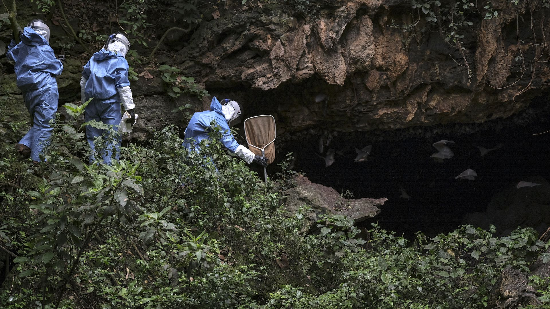 Scientists gather bats in Uganda, searching for the reservoir of hemorrhagic diseases.