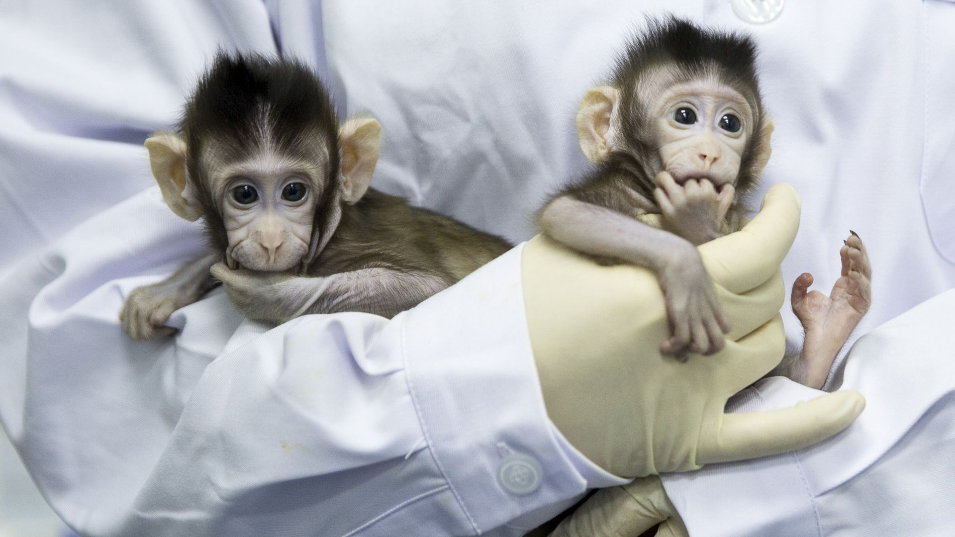 two baby macaque monkeys held by scientist in lab coat and gloves