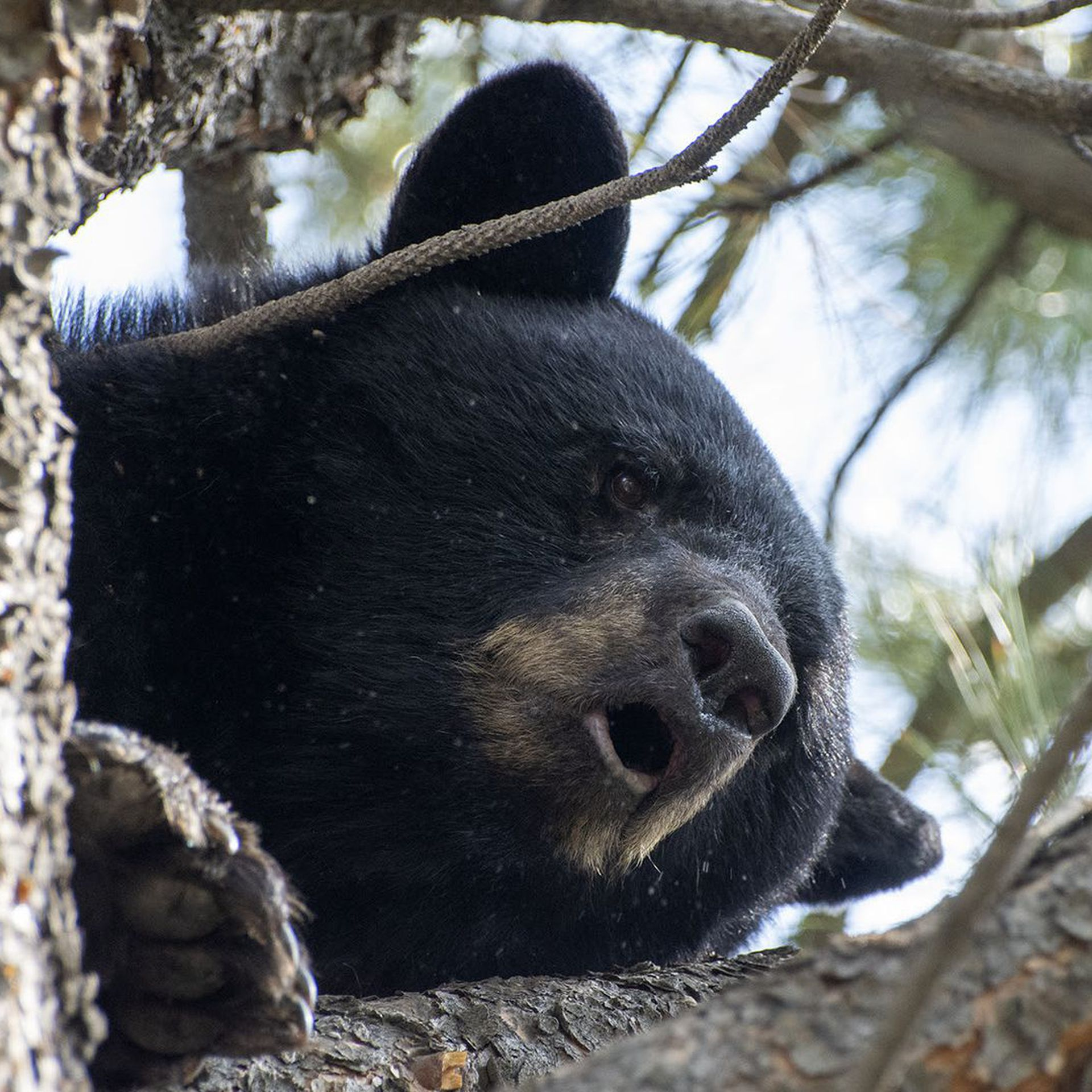 A black bear in a tree near C-470 and South Platte Canyon Road.