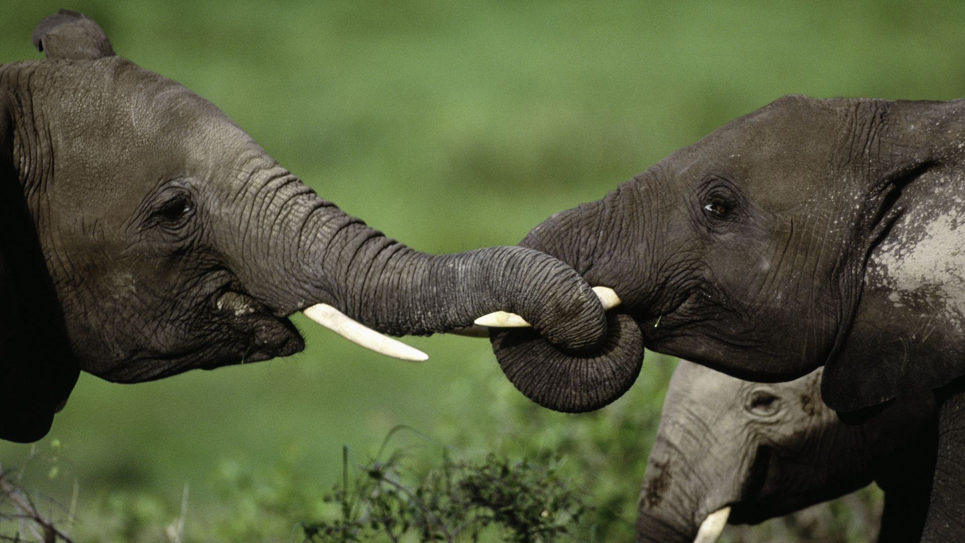 African elephants intertwine their trunks, Amboseli National Park, Kenya.