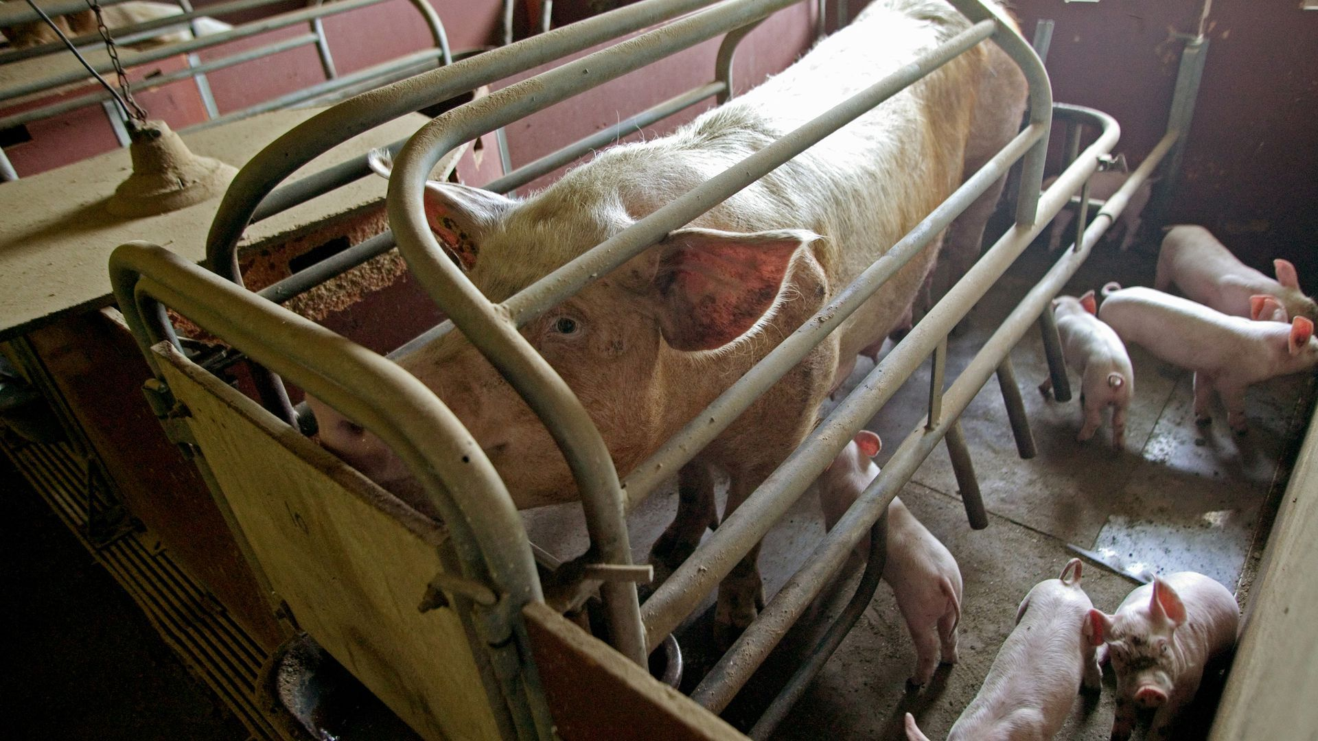 Pigs in a sow stall