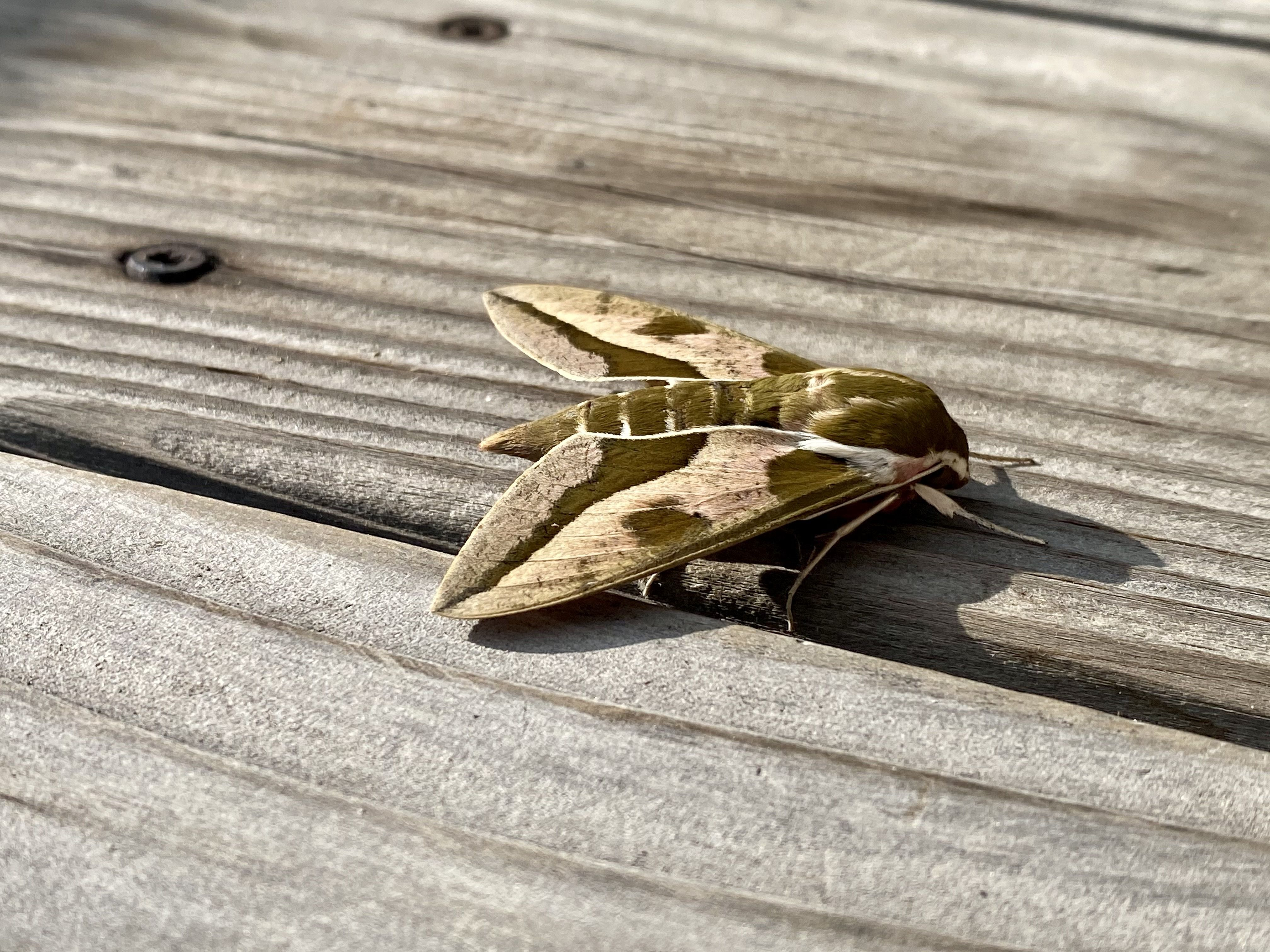 A photo of another angle of the moth