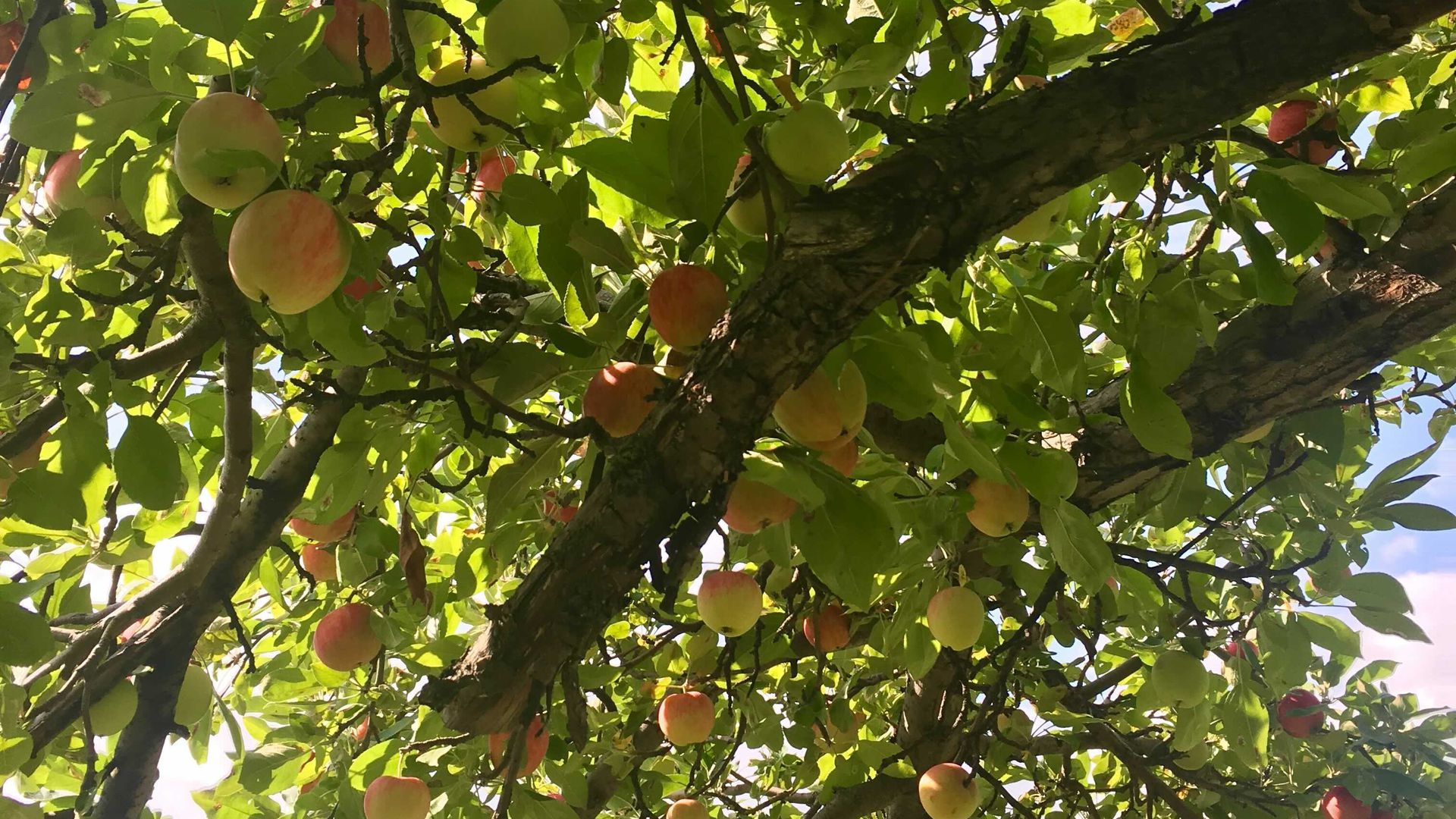 A crop of honeycrisp apples at Aamodt's Apple Orchard