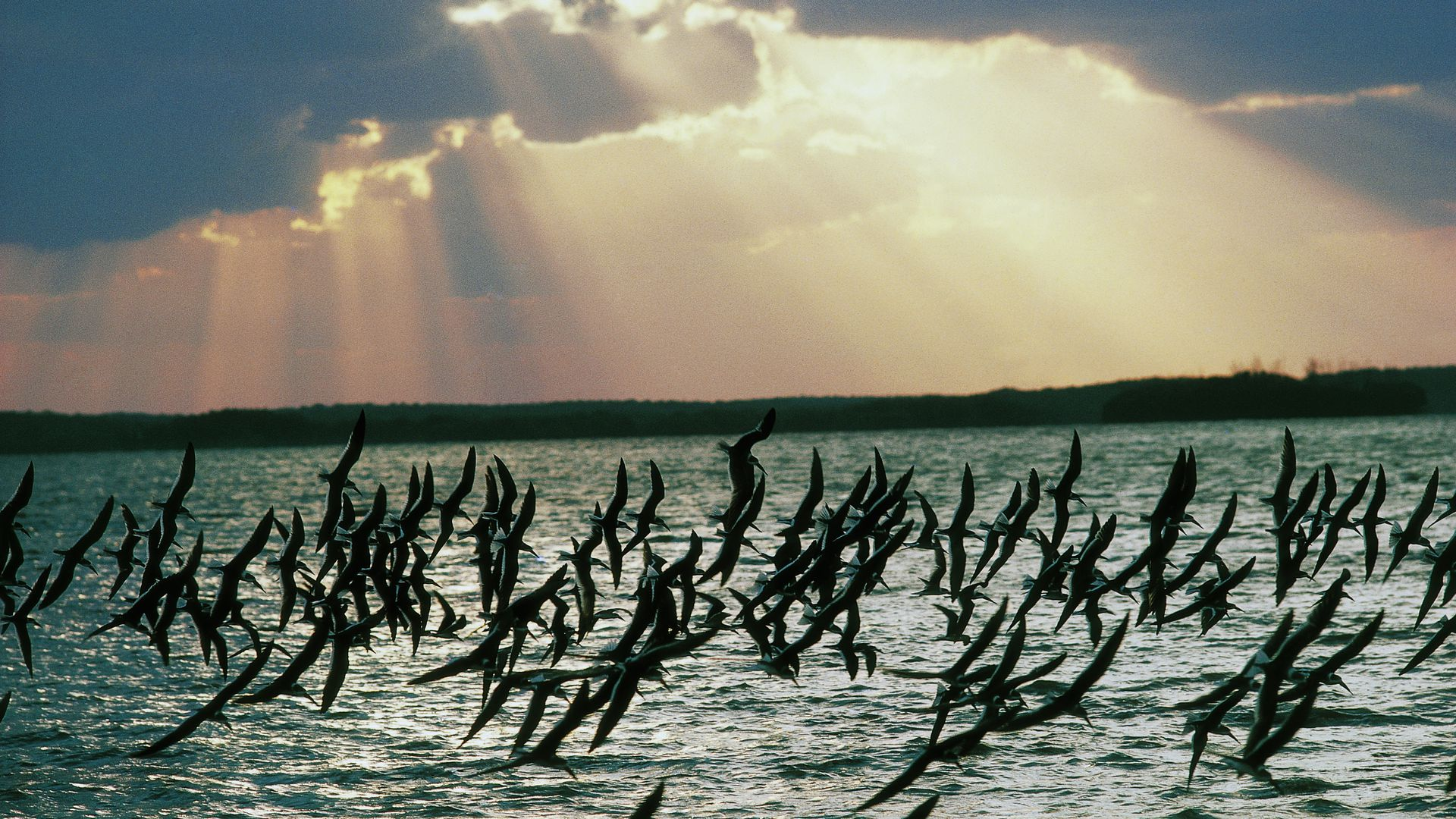 A flock of Black Skimmers fly at sunset at Everglades National Park in Florida