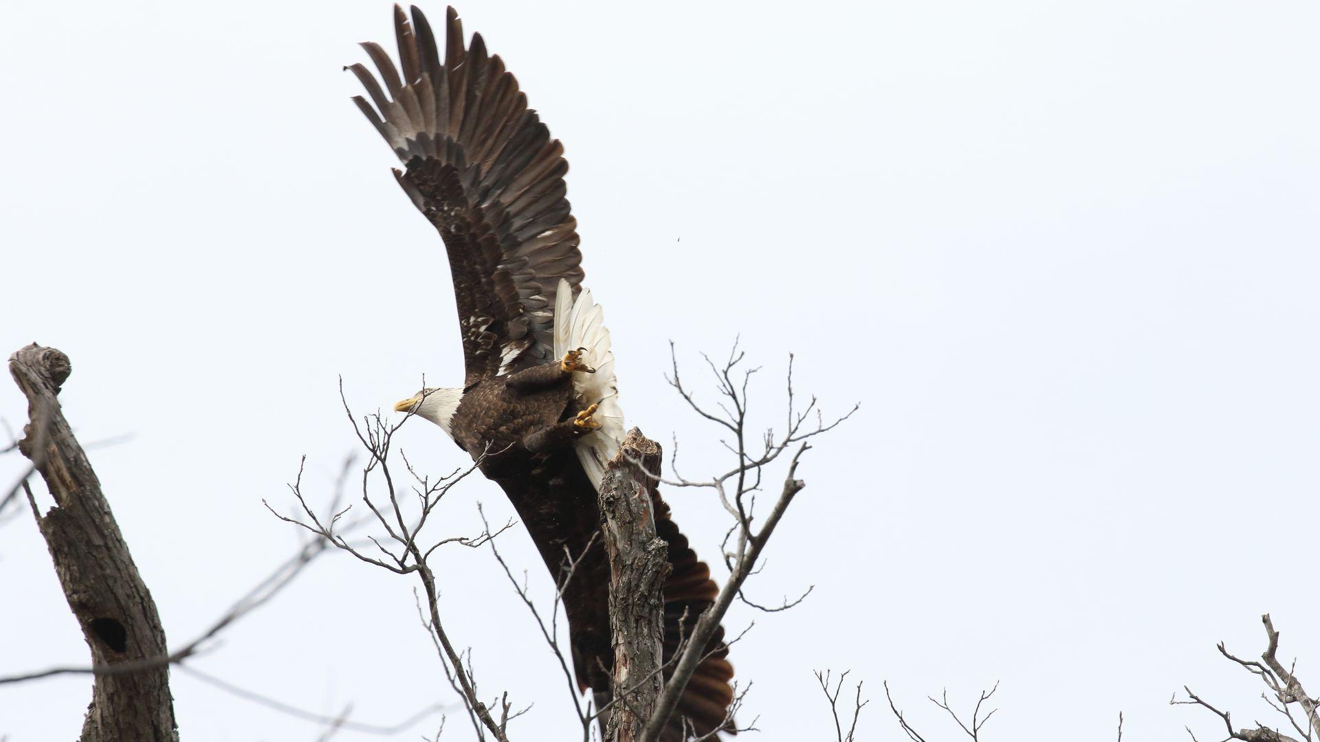 A bald eagle flies over trees.