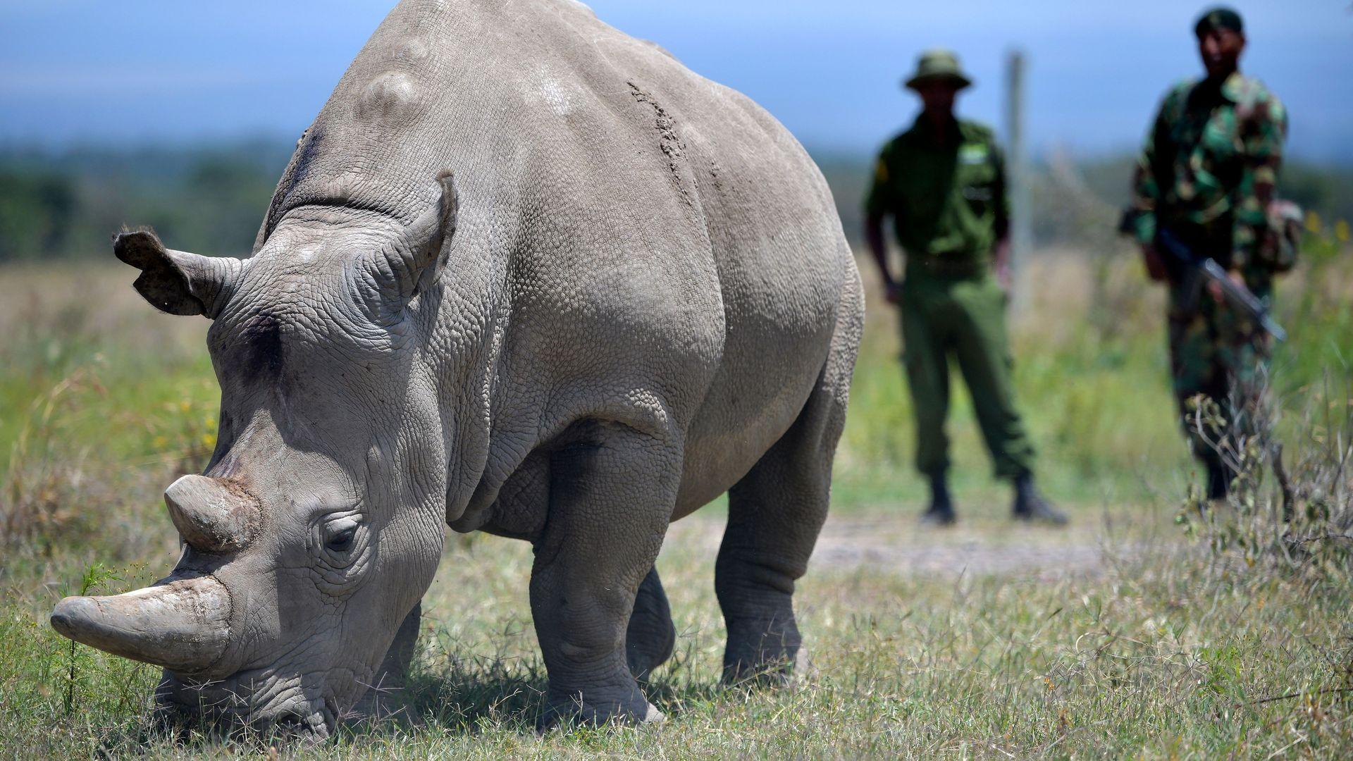 Northern white rhino.