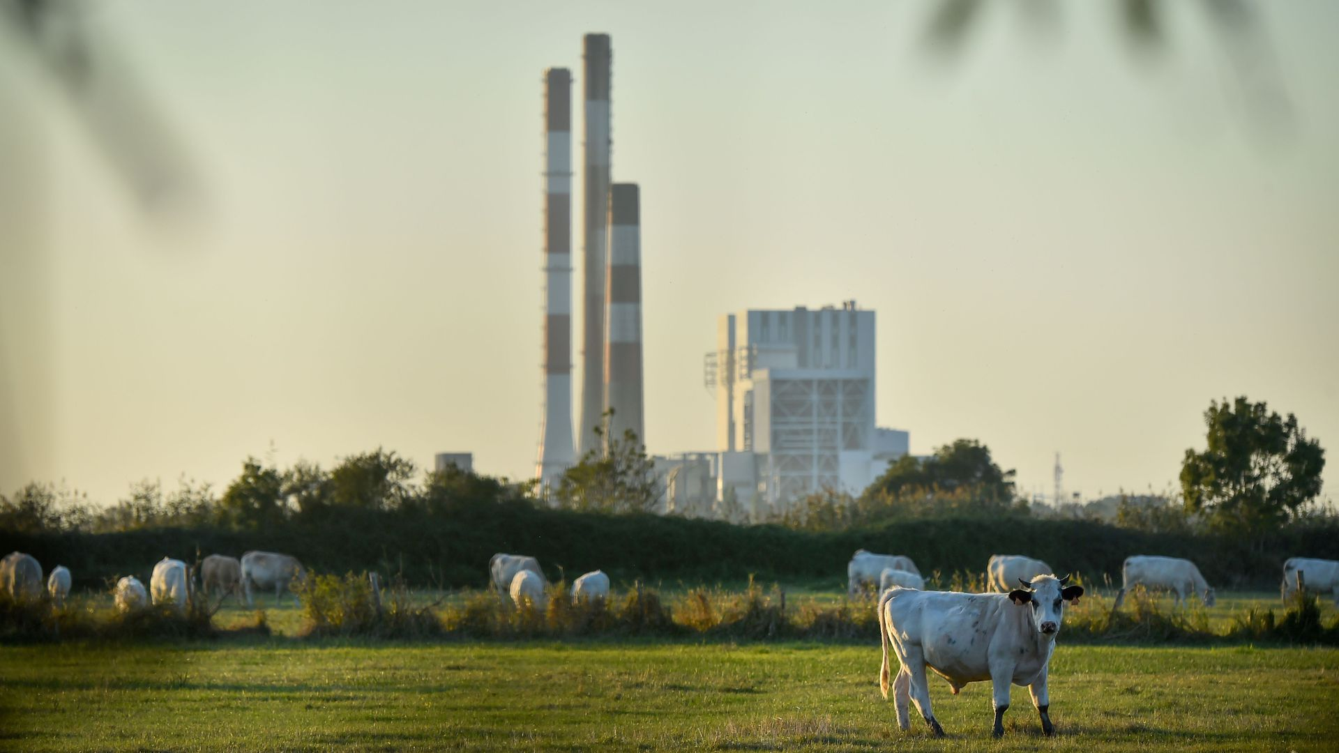 Cows stand on a field by the French energy giant EDF powerplant of Cordemais, one of the five last coal powerplant in France on September 28, 2018 in Cordemais, western France.