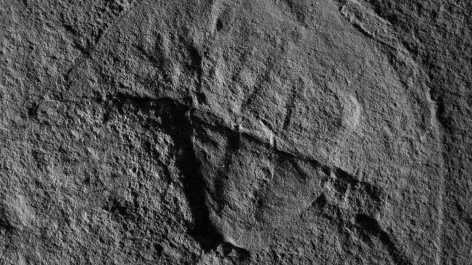 Vaderlimulus horseshoe crab fossil.
