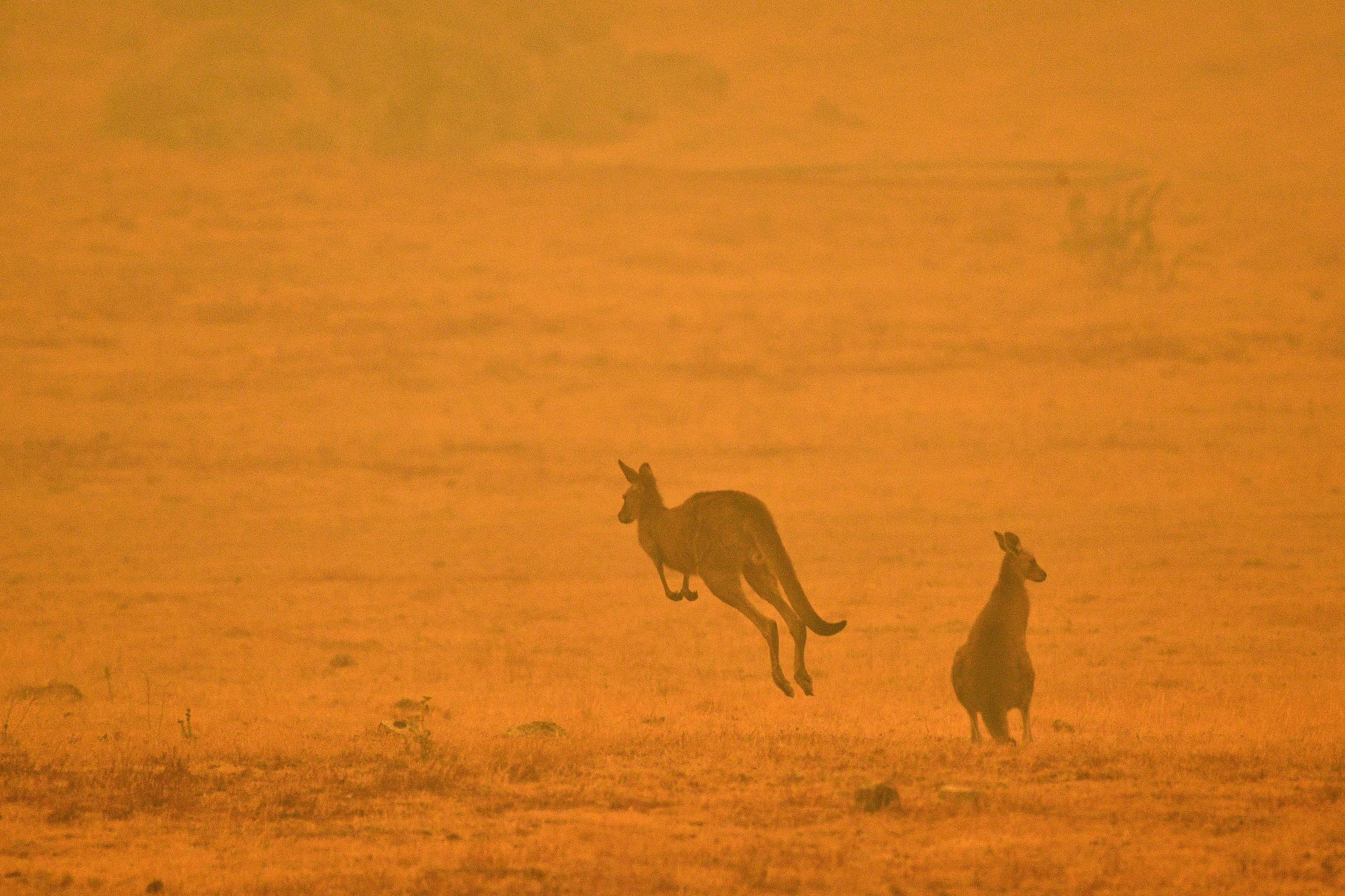 A kangaroo jumps in a field amidst smoke from a bushfire in Snowy Valley on the outskirts of Cooma on January 4
