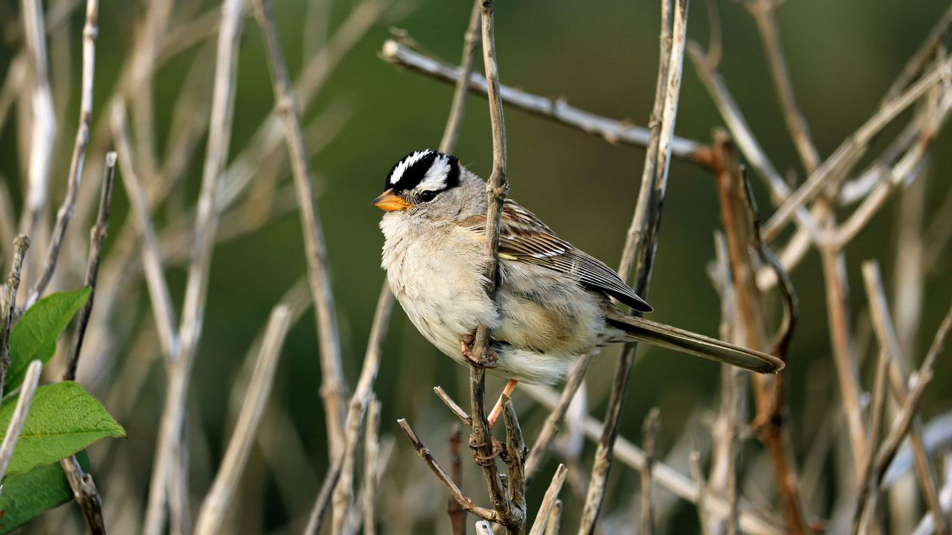 During COVID-19 shutdown, a common sparrow changed its song