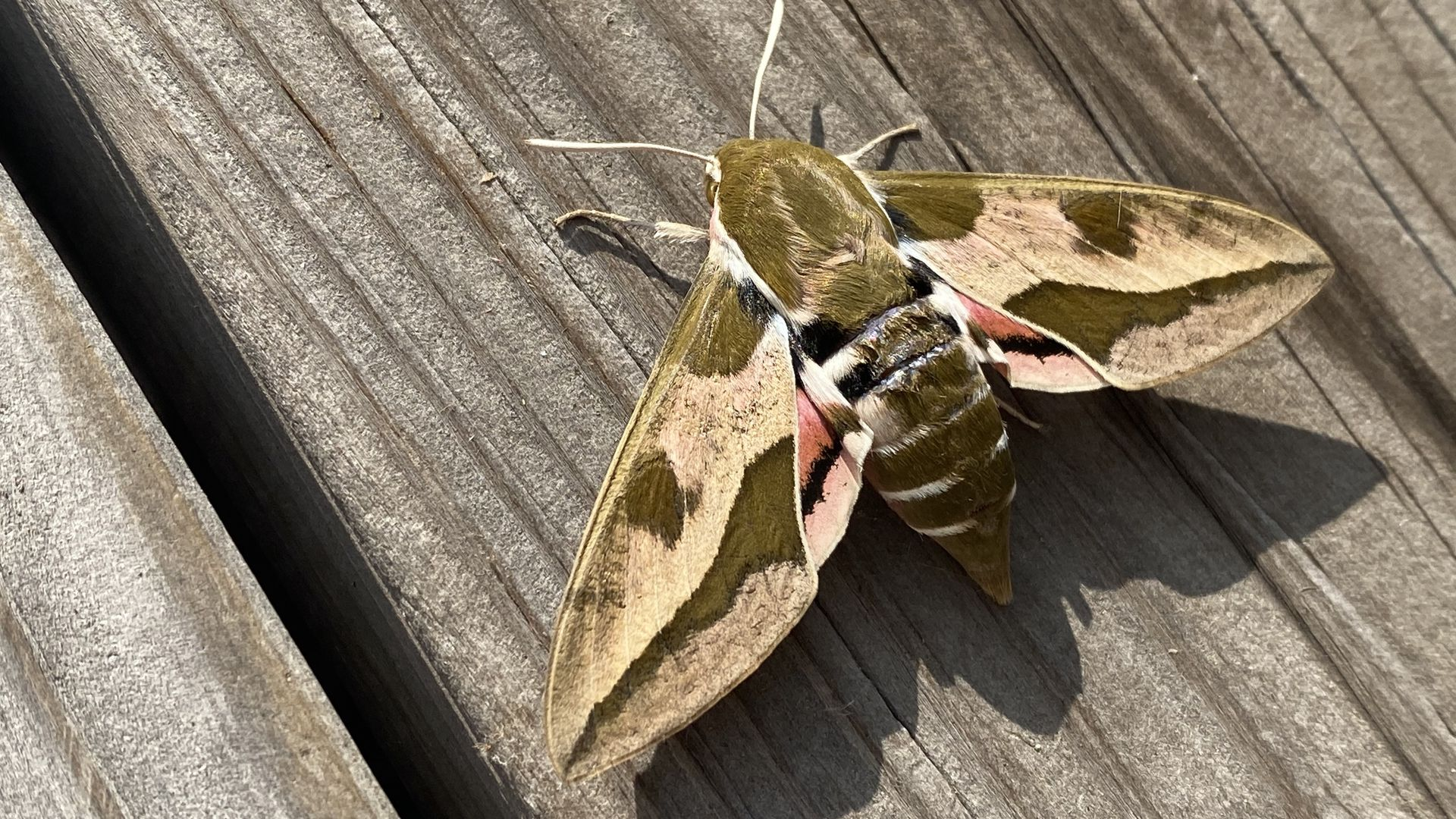 A photo of a spurge hawk moth