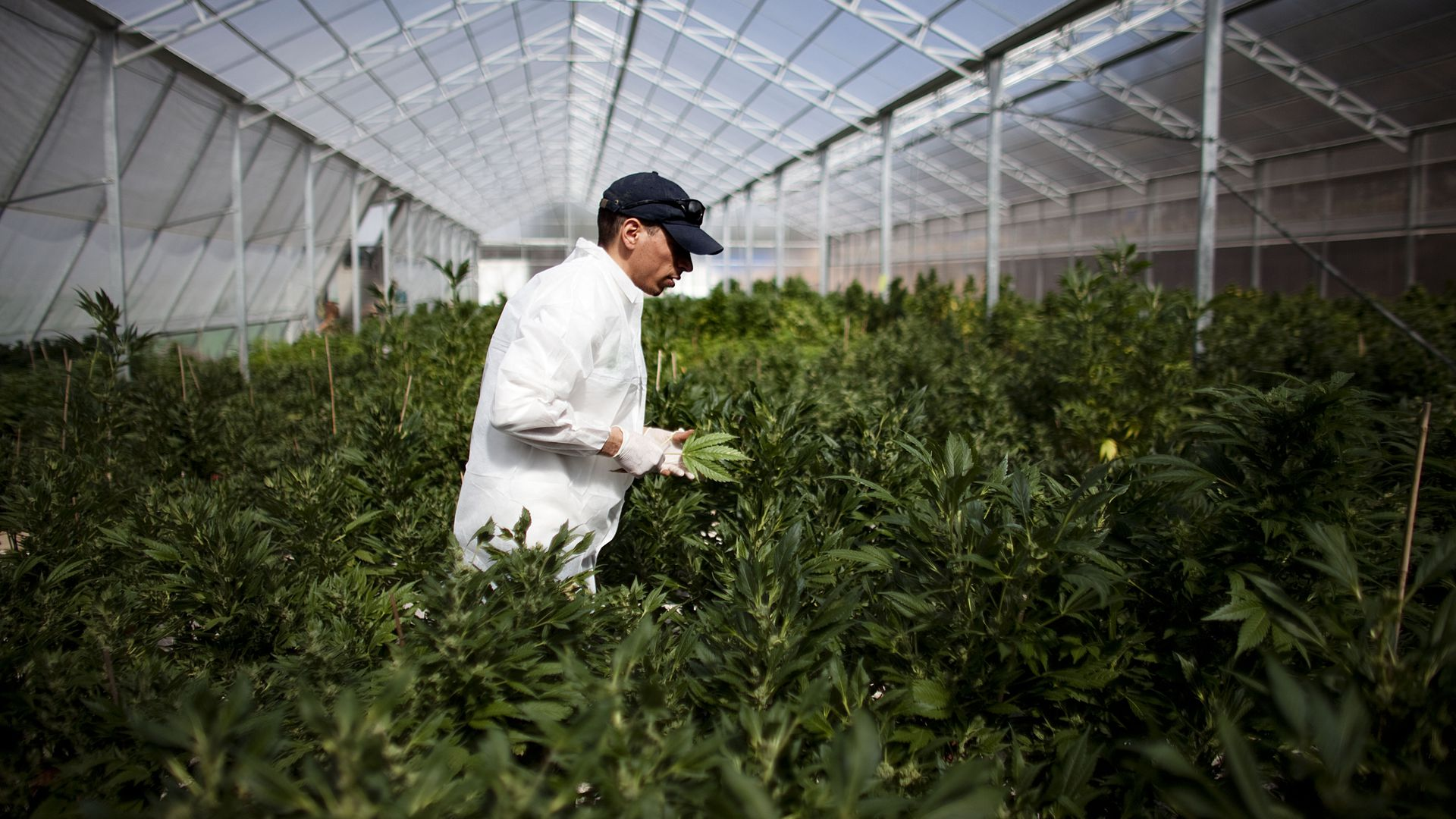 A man moves through a marijuana field in a lab coat
