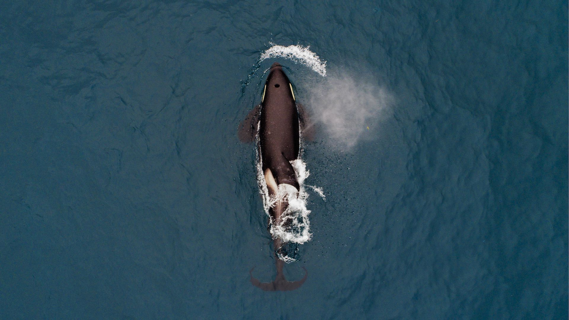 An orca in Avacha Bay off Kamchatka Peninsula on Russia's Pacific coast.