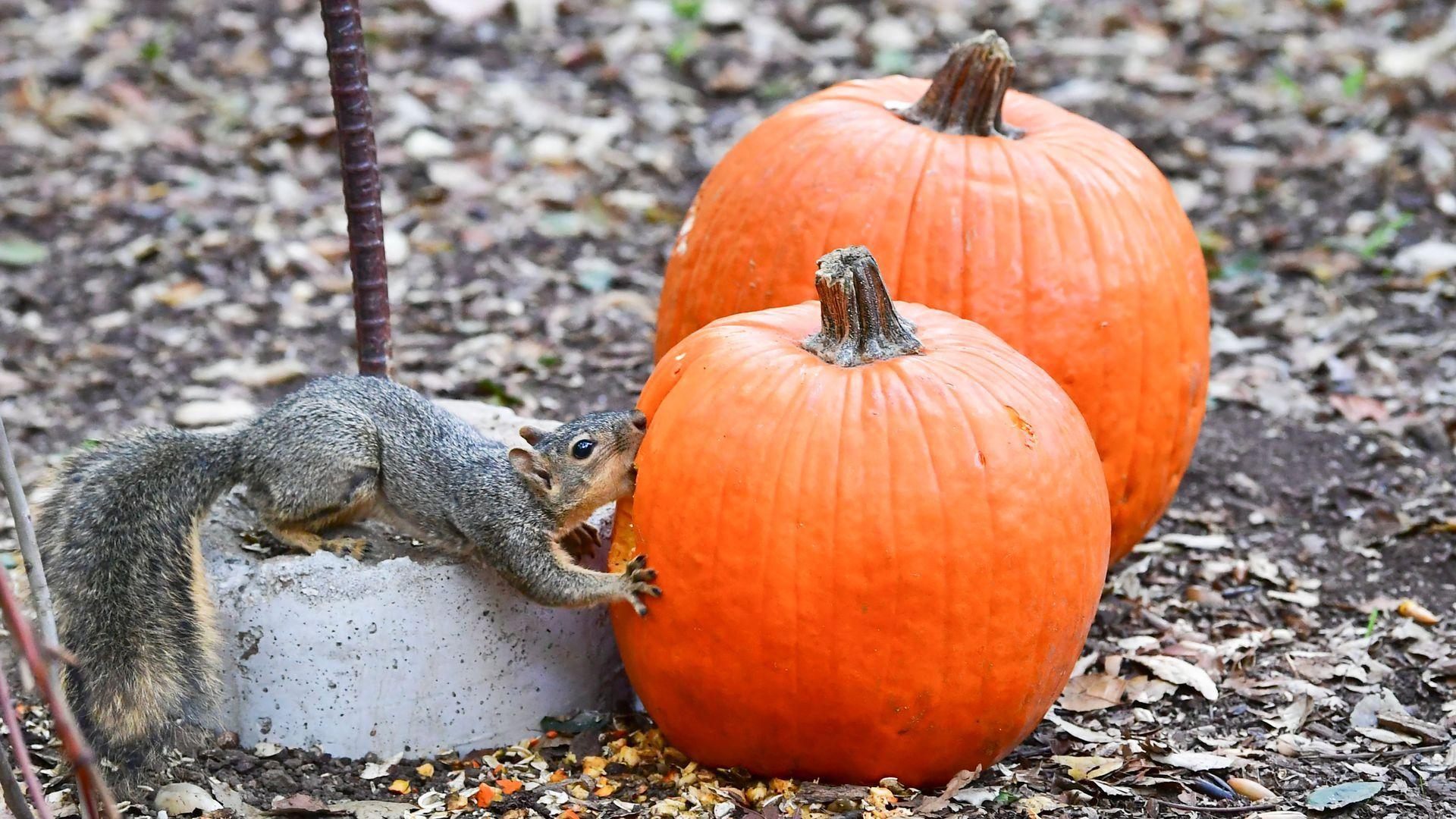 A devilsh squirrel.